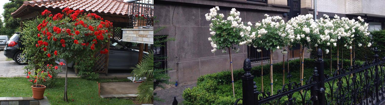 Standard Roses (Trunk 100 cm)