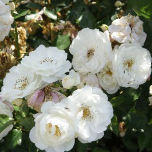 807.00 ΧΙΟΝΑΤΗ (Δενδρώδης) / ICEBERG (Standard Rose)