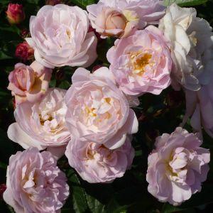 189.00 SWEET ROSE ®