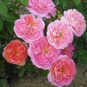299.00 HYMNE EN ROSE ®