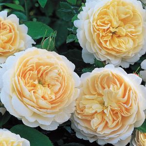 524.00 CROCUS ROSE ® (Ausquest)