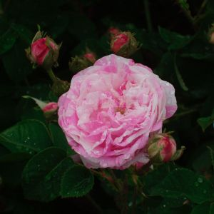 620.00 COTTAGE MAID (Rosa CENTIFOLIA )