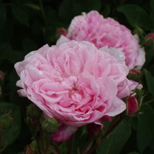 624.00 ROSA DAMASCENA