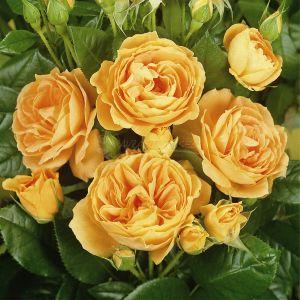 732.00 BERNSTEIN ROSE ® (Taneitber)