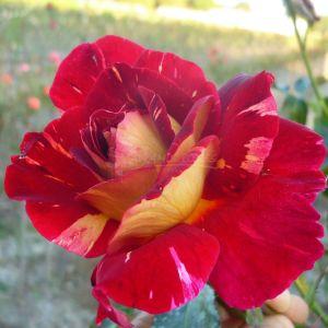 802.00 ΚΑΛΟΚΑΙΡΙΝΗ ΝΥΧΤΑ ( Δενδρώδης ) / UNE NUIT D'ETE ® (Standard Rose)