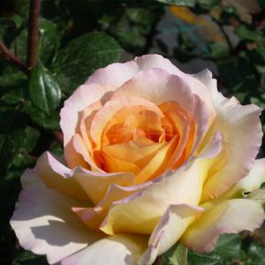 809.40 EUGENIE (Standard Rose)