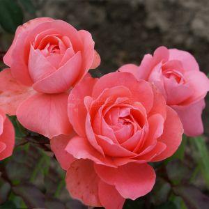 818.40 PERSEPHONE (Mini Standard Rose)