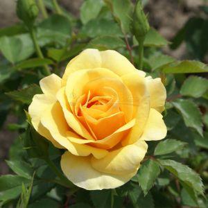 819.40 GOUTTES DE SOLEIL (Mini Standard Rose)