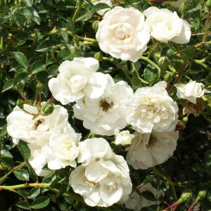 822.00 WHITE HEDGE (Rose ad Alberello Piangente)