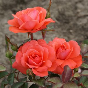 840.40 KORALINA (Mini Standard Rose)