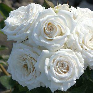845.30 PALE VEIL (Mini Standard Rose)