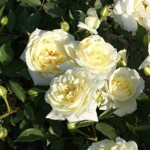 846.50 IVORY (Mini Standard Rose)