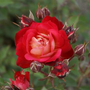 846.60 KALIMERA (Rose ad Mini Alberello)