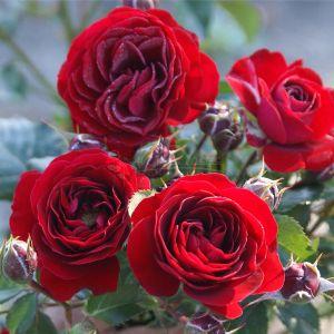 851.30 THEANO (Mini Standard Rose)