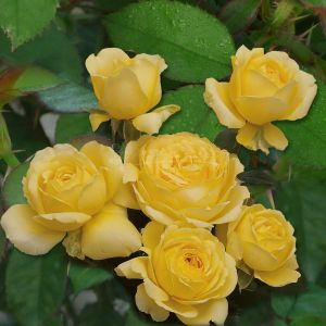 861.00 ΓΙΟΥΡΟΣΤΑΡ (Δενδρώδης) / EUROSTAR ® (Poulreb) (Standard Rose)