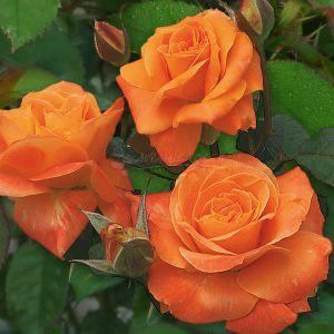 862.00 ΔΑΝΕΖΙΚΗ ΧΛΩΡΙΔΑ (Δενδρώδης) / FLORA DANICA ® (Standard Rose)