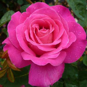 863.00 ΡΟΖ ΕΙΡΗΝΗ (Δενδρώδης) / PINK PEACE (Standard Rose)