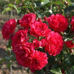 868.00 TOSCANA  (Rose ad Alberello Piangente)