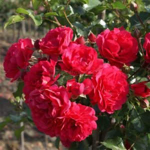 868.00 TOSCANA  (Weeping Standard Rose)
