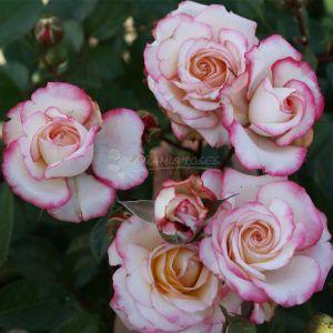 874.00 LAMINUETTE (Rose ad Alberello)