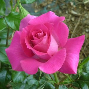 875.00 MADAME LOUISA (Standard Rose)