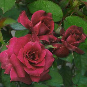 876.00 Η ΚΑΤΑΙΓΙΔΑ (Δενδρώδης) / THE STORM (Standard Rose)
