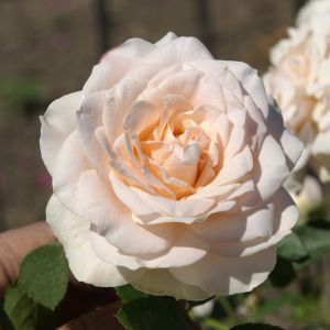 885.30 NIKOS (Standard Rose)