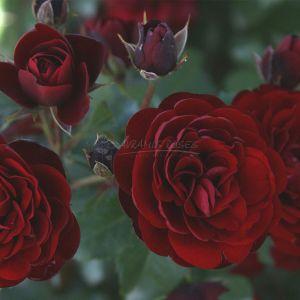 886.00 LAVAGLUT (Standard Rose)