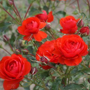 889.00 TROMPETISTE (Mini Standard Rose)
