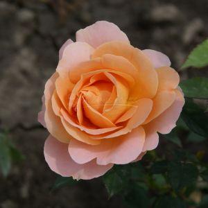 891.30 SAFRAN (Standard Rose)