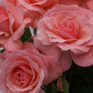 892.00 SEXY REXY (Mini Standard Rose)