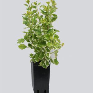 962.20 ΛΙΒΑΝΙ ή ΑΦΡΙΚΑΝΙΚΟΣ ΔΥΟΣΜΟΣ (Plectranthus coleoidesvariegata)