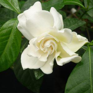 966.10 ΓΑΡΔΕΝΙΑ  (Gardenia jasminoides)