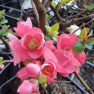 """980.30 ΤΣΙΝΤΟΝΙΑ Ροζ """"Πινκ Λάντι"""" (Chaenomeles superba """"Pink Lady"""")"""