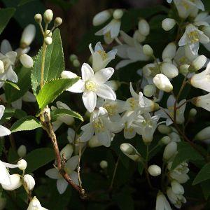 """984.00 ΔΕΥΤΣΙΑ ΧΑΜΗΛΗ ΛΕΥΚΗ (Deutzia gracilis """"Nikko"""")"""