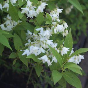 984.30 ΔΕΥΤΖΙΑ ΜΕΤΡΙΑ ΛΕΥΚΗ (Deutzia gracilis)