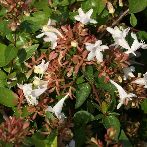 985.00 ΑΜΠΕΛΙΑ ΑΣΠΡΗ (Abelia grandiflora)