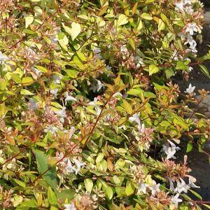 """985.10 ΑΜΠΕΛΙΑ ΧΡΥΣΗ """"Γκολντ Σποτ"""" (Abelia grandiflora """"Gold Spot"""" )"""