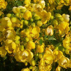988.00 ΚΑΣΣΙΑ (Cassia corymbosa)