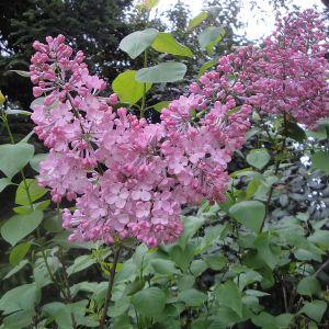 """990.60 ΠΑΣΧΑΛΙΑ ΡΟΖ ΑΠΑΛΟ """"Μαίντενς Μπλας"""" (Syringa hyacinthiflora """"Maiden's Blush"""")"""