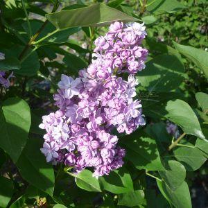 """990.30 ΠΑΣΧΑΛΙΑ ΛΙΛΑ-ΡΟΖ """"Μιραμπώ"""" (Syringa hyacinthiflora """"Mirabeau"""")"""
