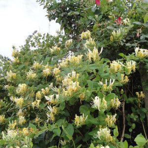 """991.00 ΑΓΙΟΚΛΗΜΑ Κίτρινο """"Αλιάνα"""" (Lonicera japonica """"Halliana"""")"""