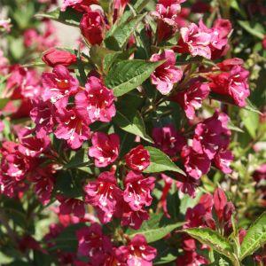 """992.30 ΒΕΓΚΕΛΑ """"Ρουμπίνι του Μπρίστολ"""" (Weigelia florida """"Bristol ruby')"""