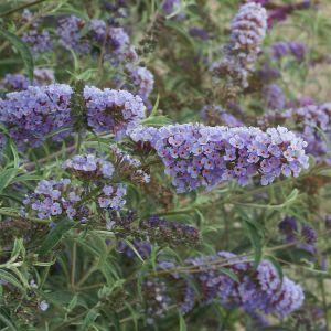 """994.10 ΒΟΥΔΛΕΪΑ μπλε, μέτρια """"Νάνο μπλου"""" (Buddleia davidii """"Nanho Blue"""")"""