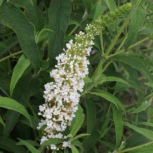 """994.20 ΒΟΥΔΛΕΪΑ λευκή, ψηλή """"Γουάιτ Προφούσιον"""" (Buddleia davidii """"White Profusion"""")"""