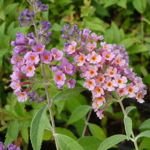 """994.70 ΒΟΥΔΛΕΪΑ βιολετί-πορτοκαλί, ψηλή """"φλάουερ πάουερ"""" (Buddleia x Weyeriana """"Power Flower"""" )"""
