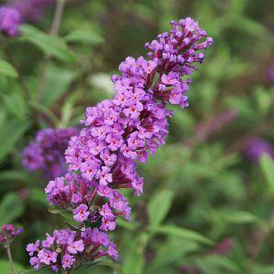 """994.80 ΒΟΥΔΛΕΪΑ πορφυρή φούξια, μέτρια, """"νάνο περπλ"""" (Buddleia davidii """"Nanho Purple"""" )"""