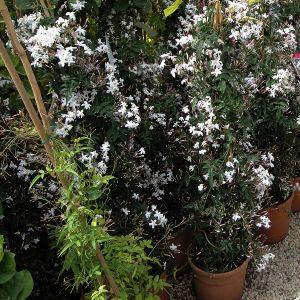 997.20 ΓΙΑΣΕΜΙ ΠΟΛΥΑΝΘΕΣ (Jasminum polyanthum)