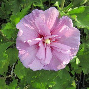 998.70 ΙΒΙΣΚΟΣ ΣΥΡΙΑΚΟΣ ΔΙΠΛΟΣ ΡΟΖ (Hibiscus syriacus sp.)
