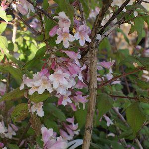 """999.80 ΚΟΛΚΒΙΤΣΙΑ """"Πινκ Κλουντ"""" (Kolkwitzia amabilis """"Pink Cloud"""")"""